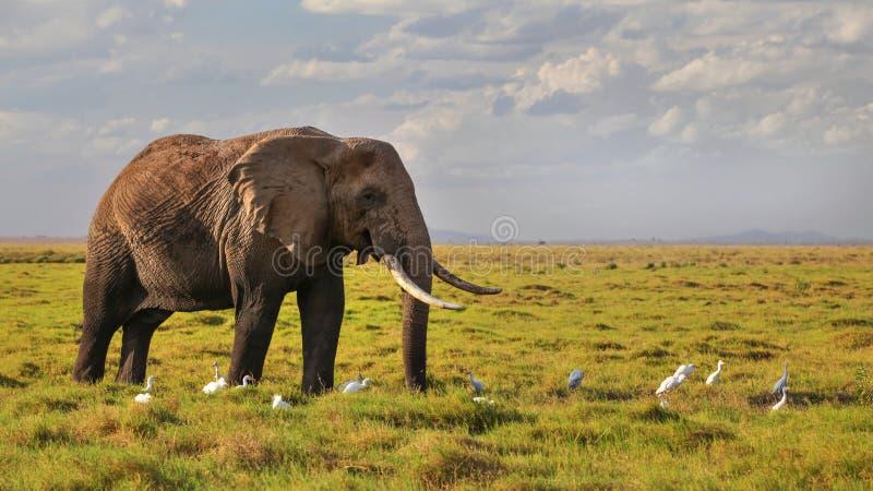 Afrykański krzaka słonia Loxodonta africana odprowadzenie na sawannowym li fotografia stock