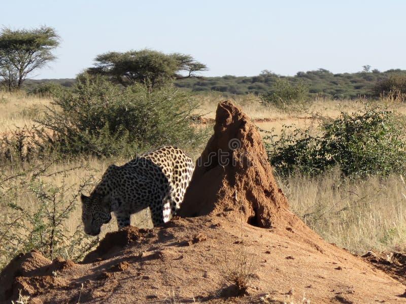 Afrykański lampart obwąchuje dla perfumowania chuje w cieniu czerwony termitu kopiec w wczesnego poranku słońcu przy Okonjima rez fotografia stock