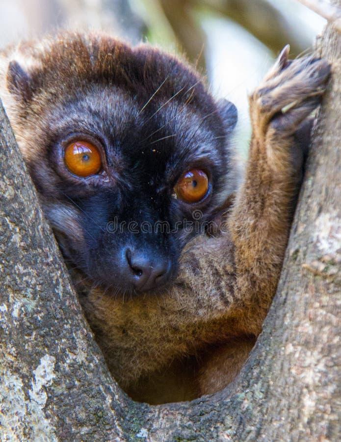 Afrykański lemur w Dzikim zdjęcia royalty free