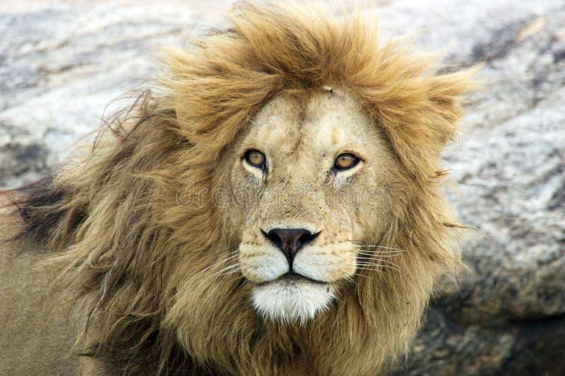 afrykański Leo lwa panthera zdjęcie stock