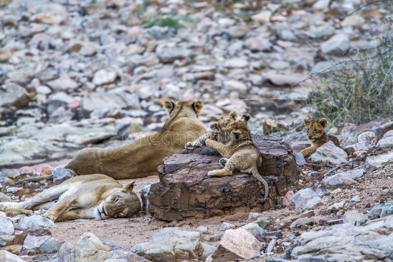 Afrykański lew w Kruger parku narodowym, Południowa Afryka zdjęcia stock
