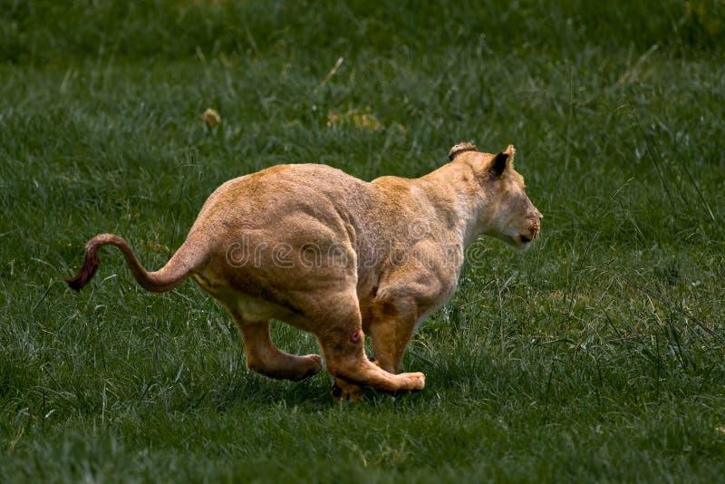 afrykański lionness zdjęcie stock