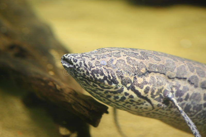Afrykański Lungfish fotografia stock