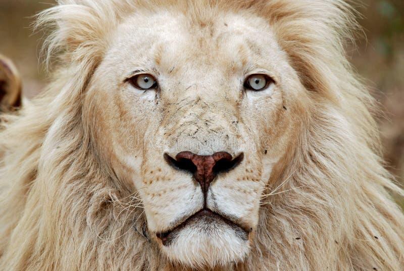 afrykański lwa portreta biel obrazy stock