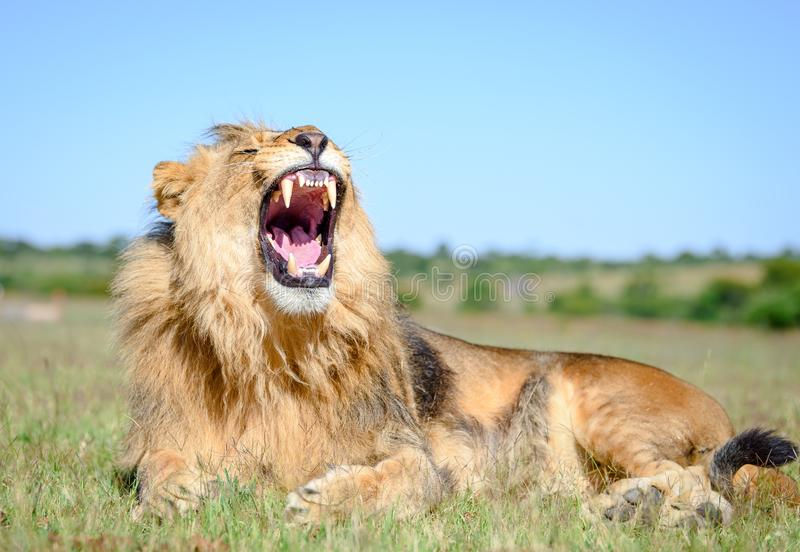 Afrykański lwa poryk, lew samiec z grzywami zdjęcia stock