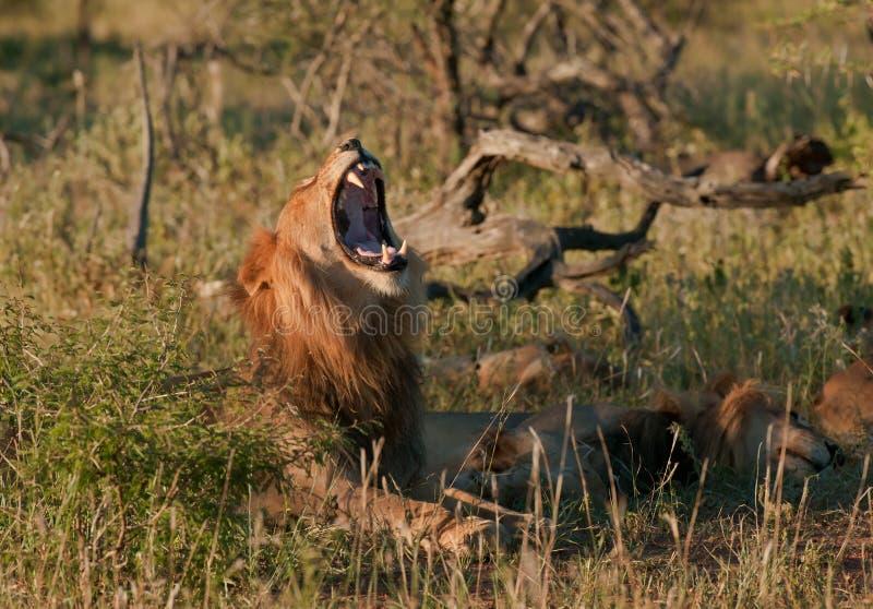 afrykański lwa pustkowia ziewanie zdjęcia stock