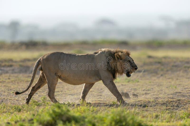Afrykański Męski lew, Panthera Leo, Amboseli, Kenja, Afryka obraz stock