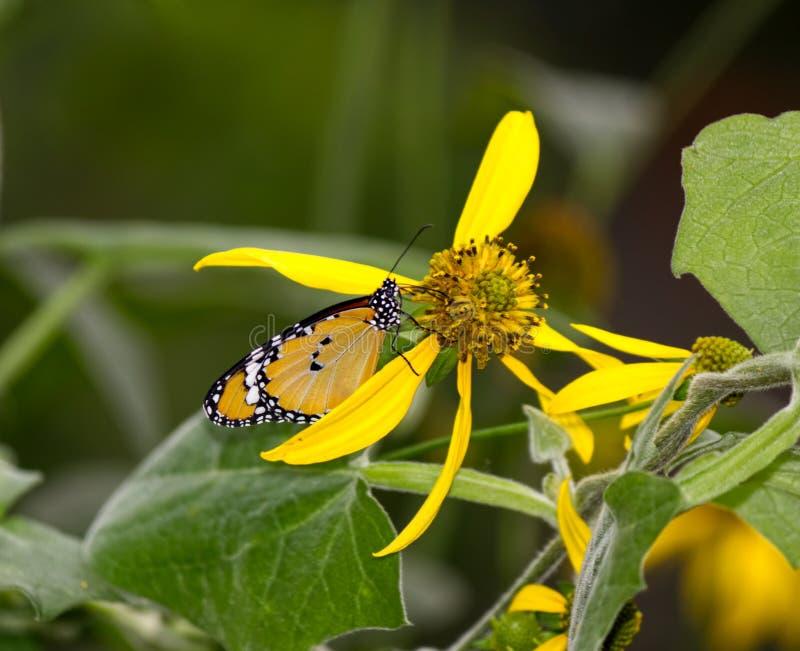Afrykański Monarchiczny motyl na żółtym kwiacie fotografia royalty free