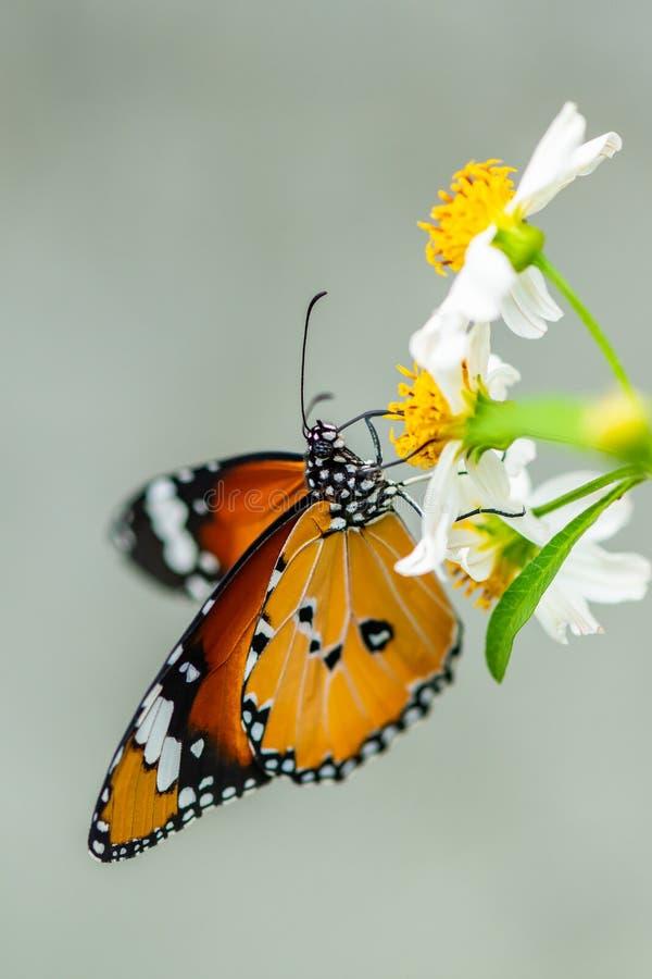 Afrykański Monarchiczny motyl używa swój probostic zbierać nektar fotografia royalty free
