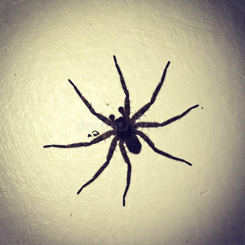 Afrykański pająk zdjęcia stock