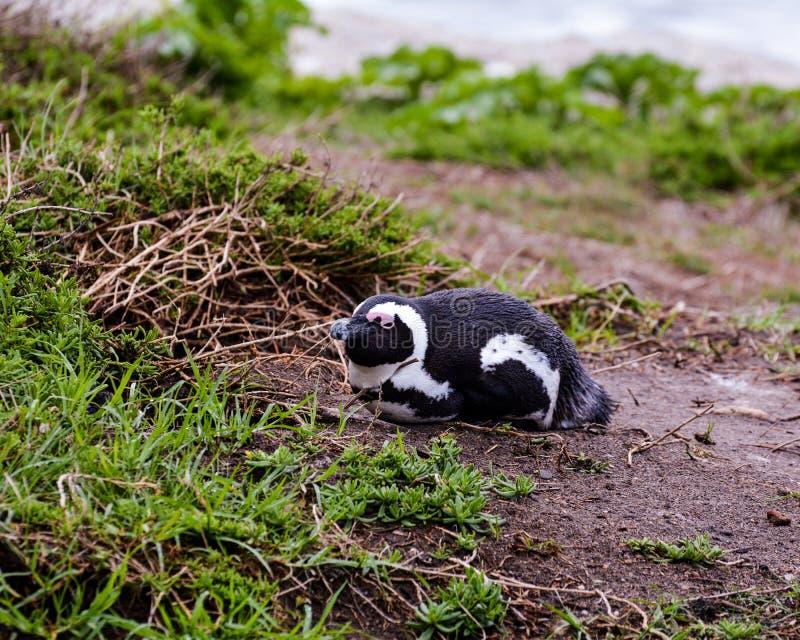 Afrykański pingwin Odpoczywa Na piasku obraz stock