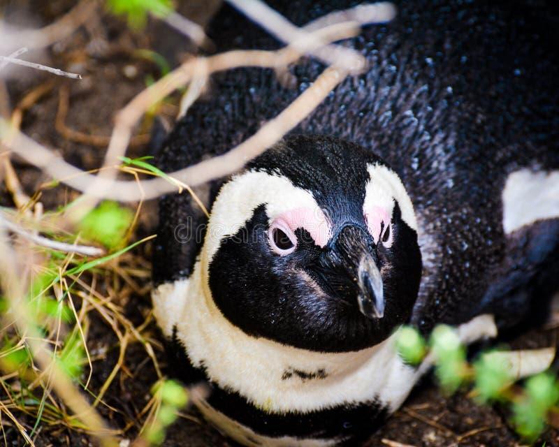 Afrykański pingwinu Odpoczywać fotografia royalty free