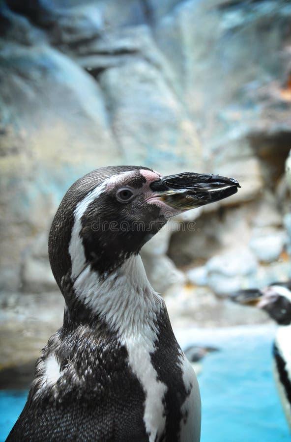 Afrykański pingwinu zbliżenie obraz royalty free