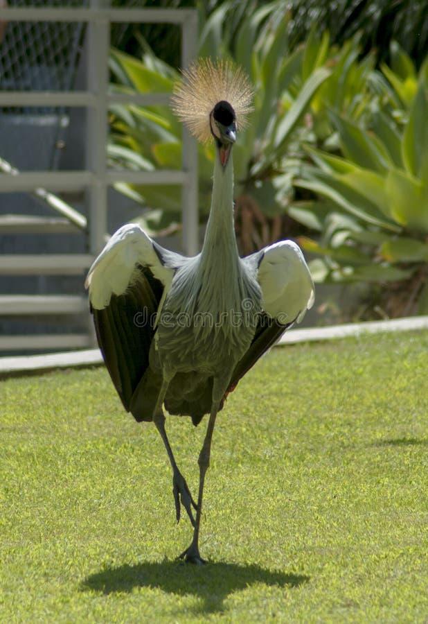 Afrykański popielaty koronowany żuraw biega przez trawę obrazy stock