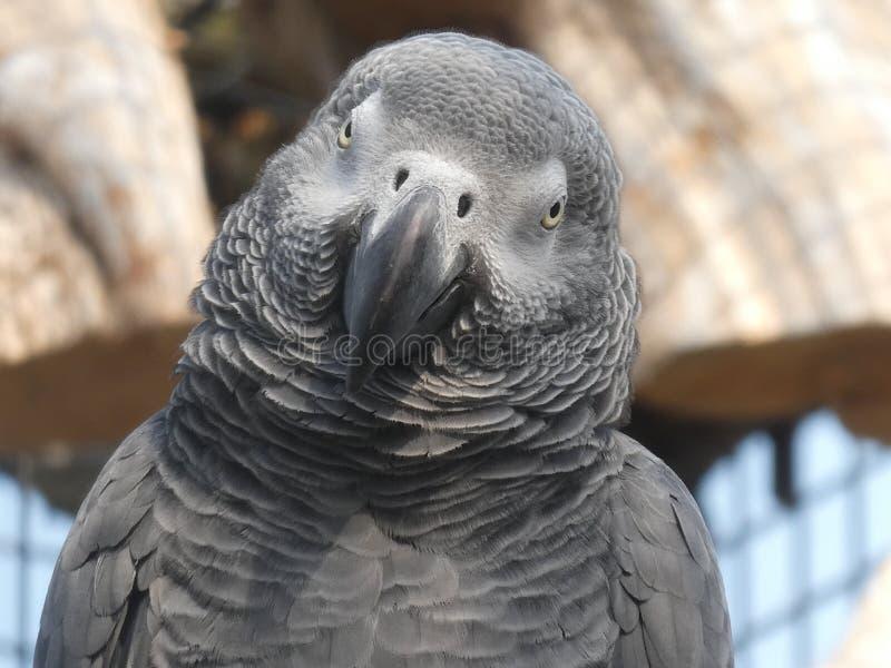 Afrykański popielaty papuzi przyglądający za ono uśmiecha się i dniu przy zdjęcie royalty free