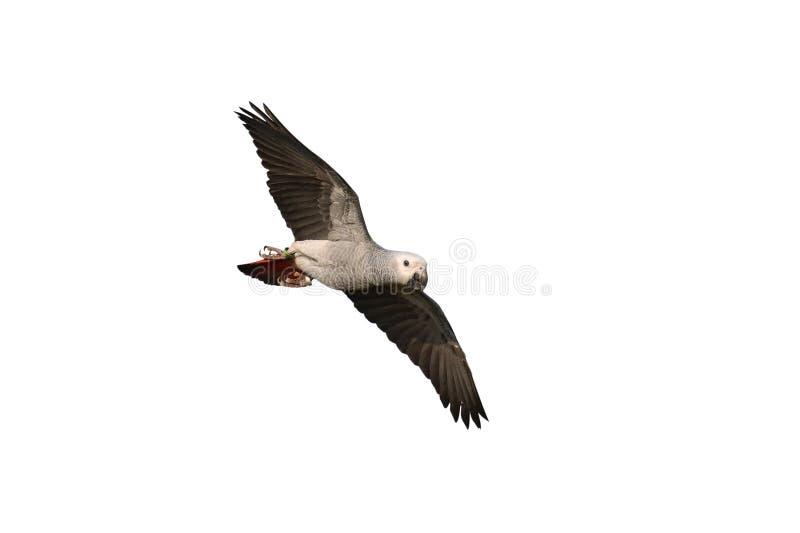 Afrykański Popielaty Papuzi ptak zdjęcie royalty free