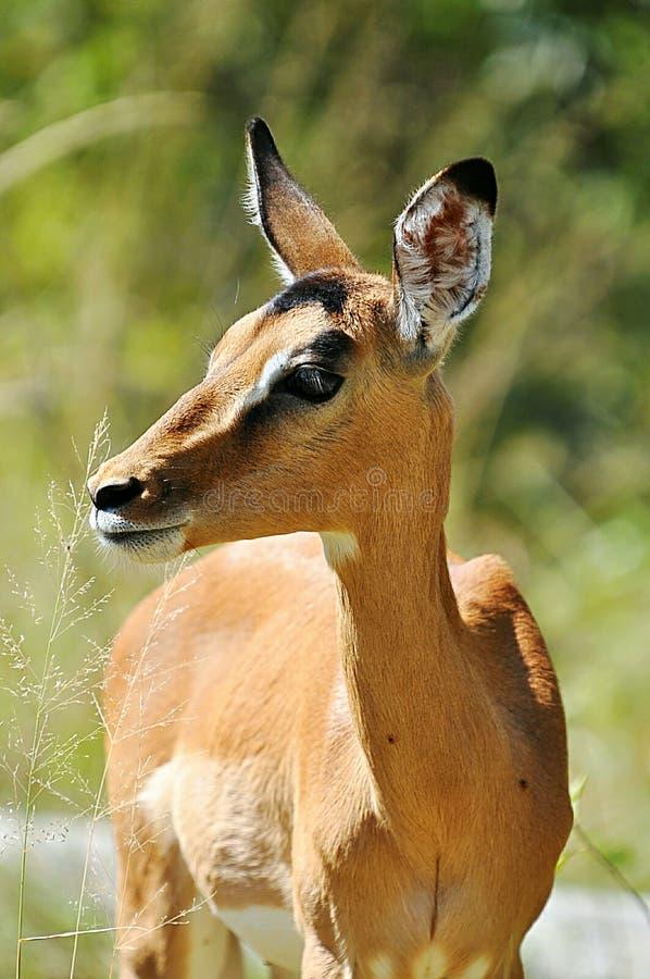 afrykański przyrody obraz stock