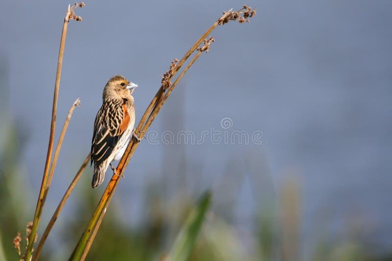 afrykański ptak zdjęcie stock