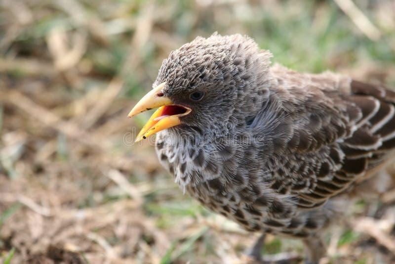 afrykański ptak obraz royalty free