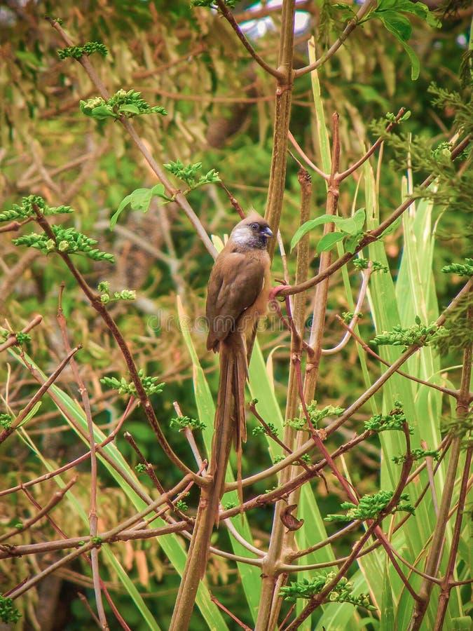 Afrykański ptak umieszczający na płosze w Tanzania zdjęcia royalty free