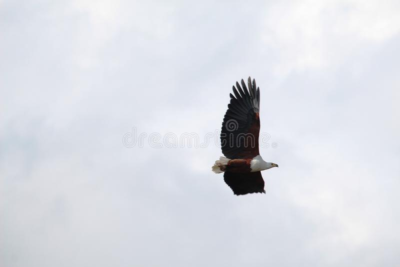 Afrykański Rybi Eagle w locie fotografia stock
