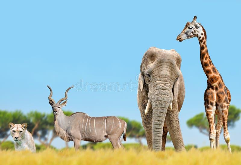 Afrykański słoń, żyrafa, kudu i lew, obrazy stock