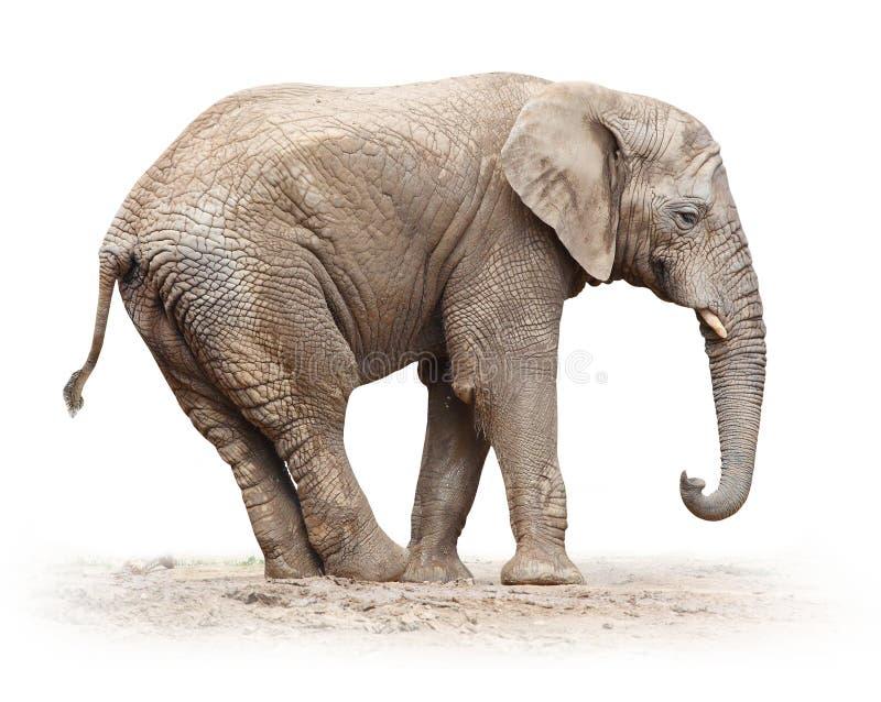 Afrykański słoń. zdjęcie stock