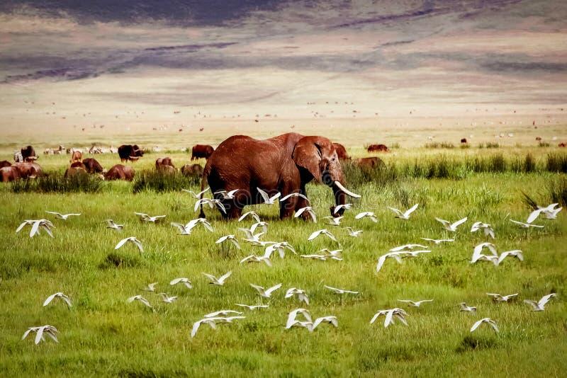 Afrykański słoń i ptaki w Ngorongoro kraterze w tle góry fotografia stock