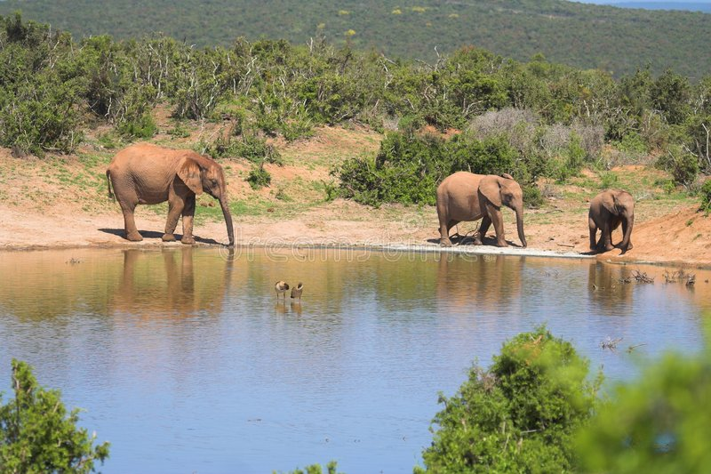 afrykański słoń jeziora zdjęcia royalty free