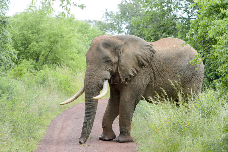 Afrykański słoń krzyżuje drogę obrazy stock