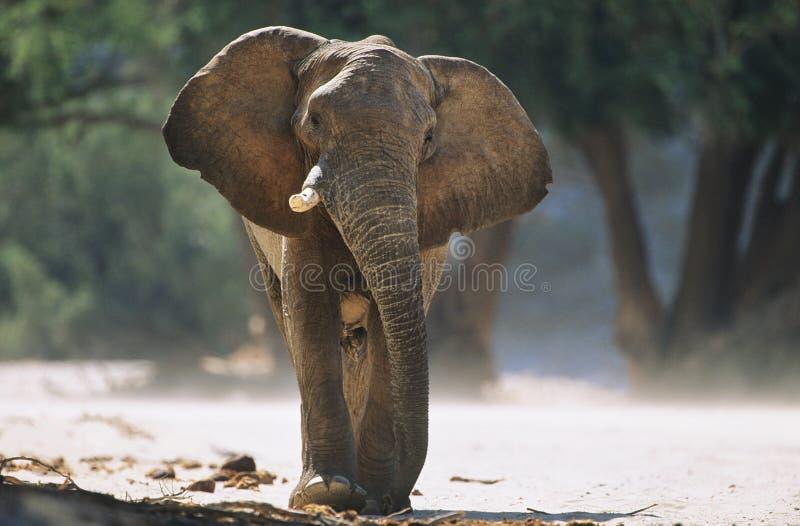 Afrykański słoń (Loxodonta Africana) obraz royalty free