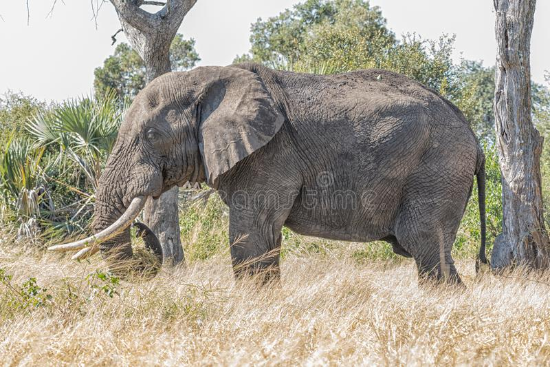 Afrykański słoń, Loxodonta africana, pasa zdjęcia stock
