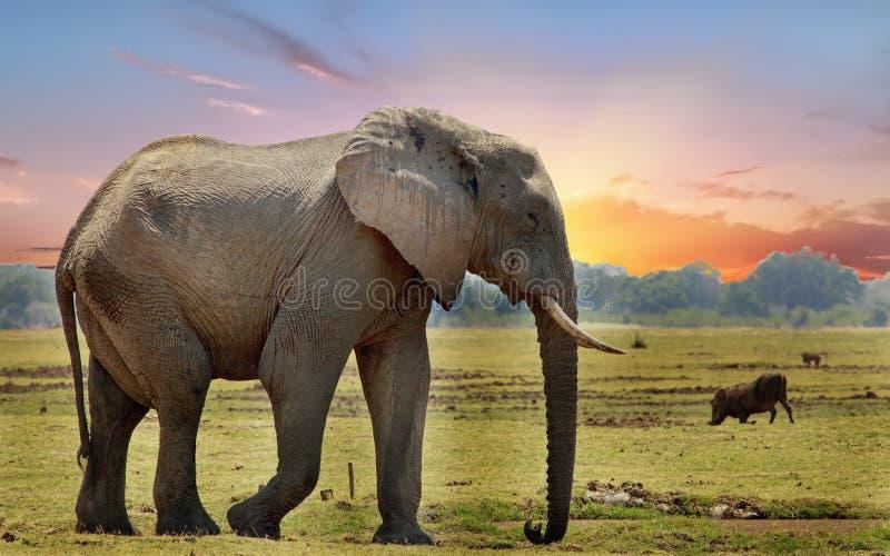 Afrykański słoń na afrykańskich równinach z zmierzchu nieba tłem zdjęcia stock
