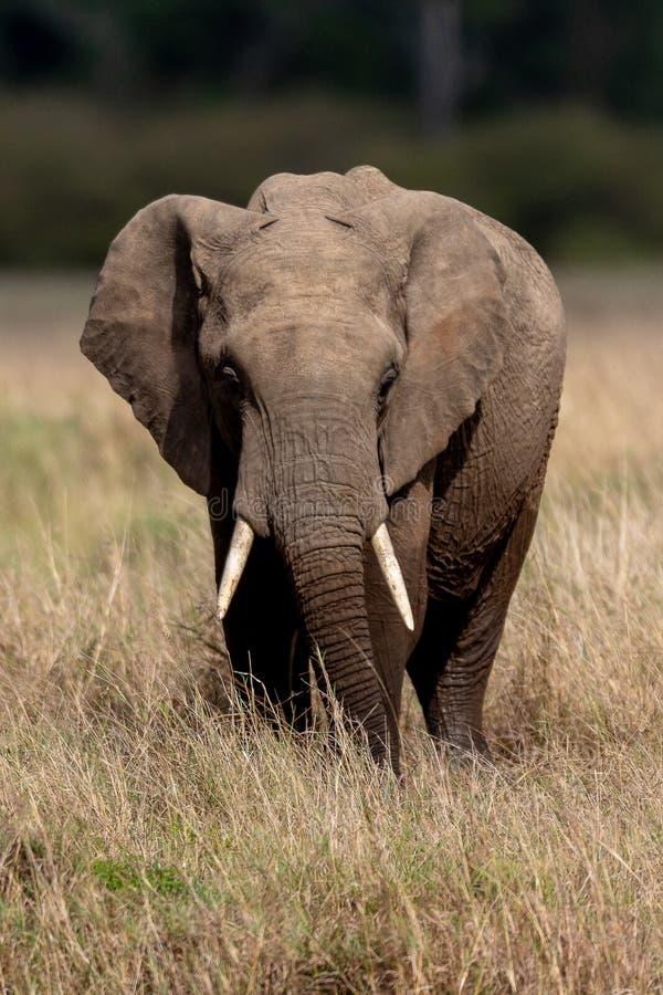 Afrykański słoń na safari w Masai Mara, Kenja zdjęcia stock