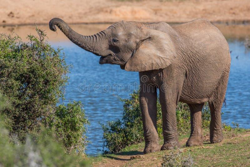 Afrykański słoń Podnosi Z liści z mną jest bagażnikiem fotografia royalty free