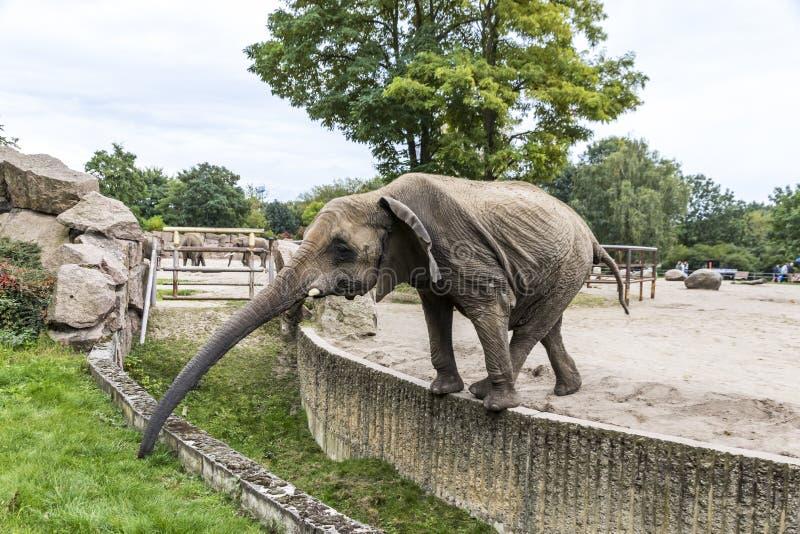 Afrykański słoń w Tierpark Berlin, Niemcy zdjęcia stock
