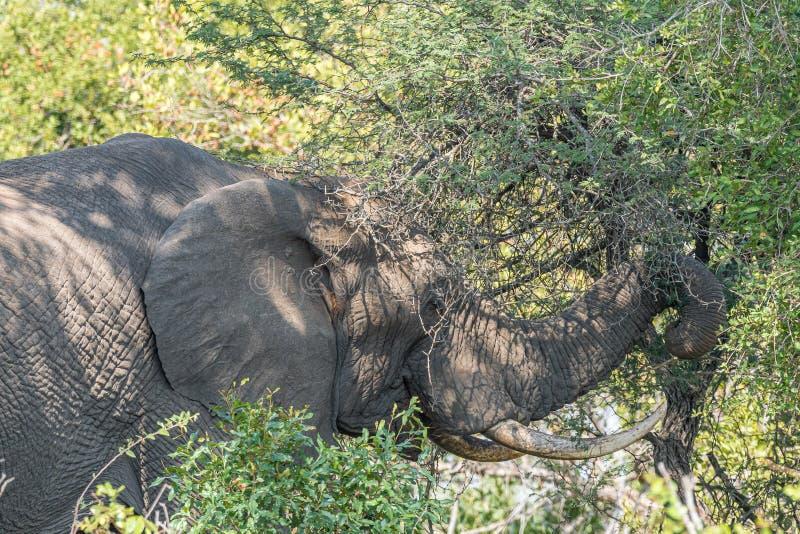 Afrykański słoń wyszukuje w cierniowym drzewie zdjęcia royalty free