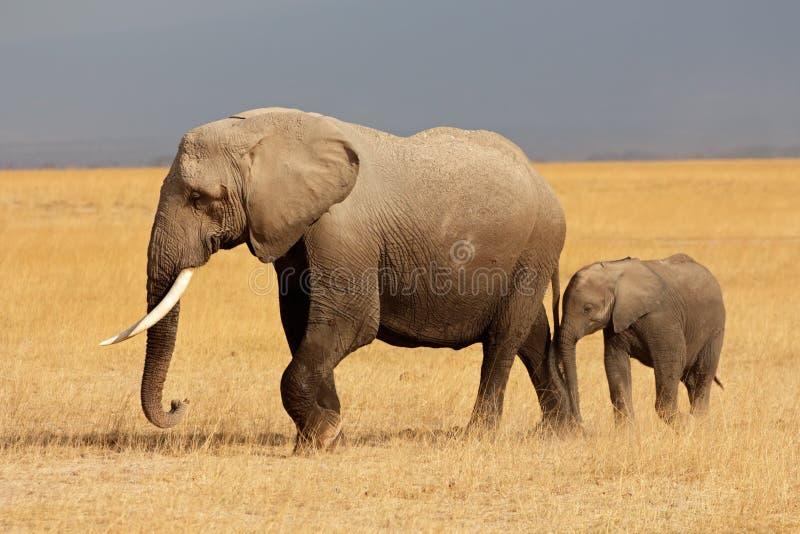 Afrykański słoń z łydką fotografia royalty free