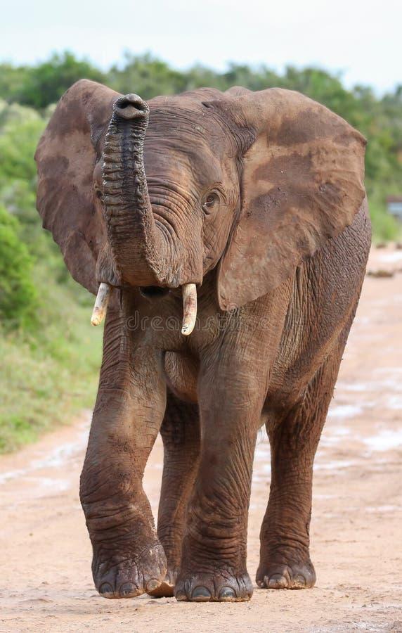 Afrykański słoń z Nastroszonym bagażnikiem zdjęcia royalty free
