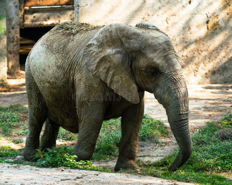 Afrykański słoń zakrywający w wysuszonym błocie dla ochrony przeciw słońcu obrazy royalty free