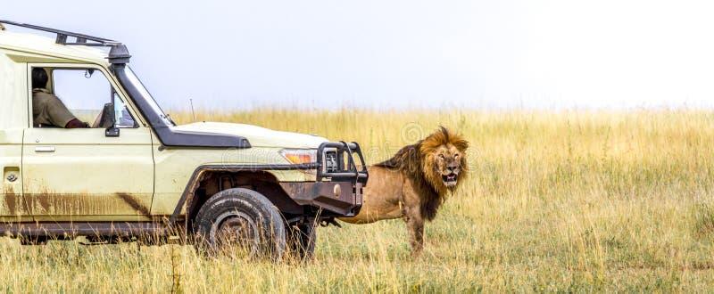 Afrykański safari lew przy safari pojazdem obraz stock