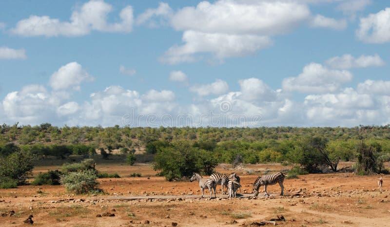 Afrykański sawanna krajobraz z prostymi zebrami przy waterhole zdjęcie royalty free