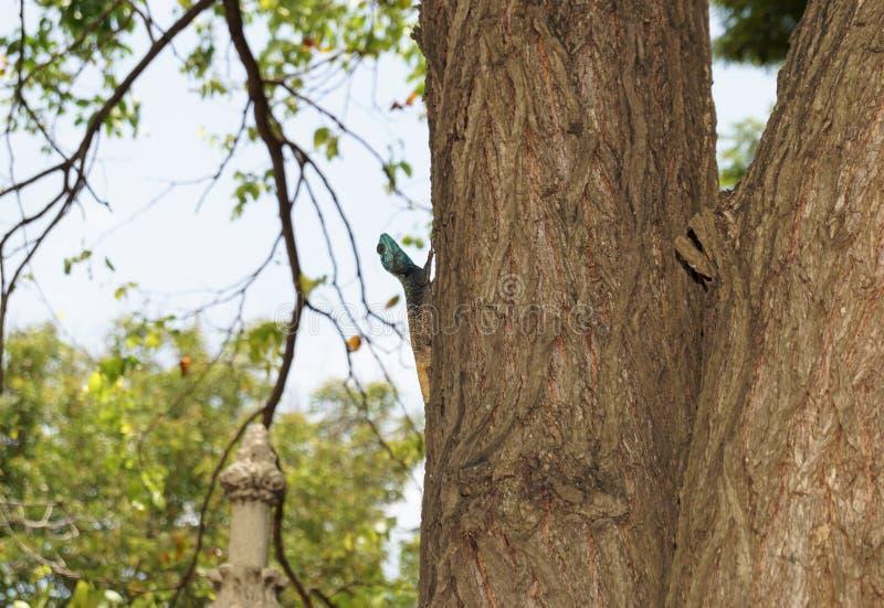 Afrykański smok na drzewie w afrykańskim lesie obraz stock