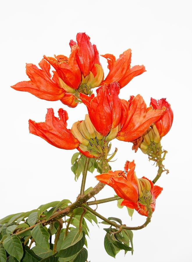 Afrykański tulipanowy drzewo, zdjęcie royalty free