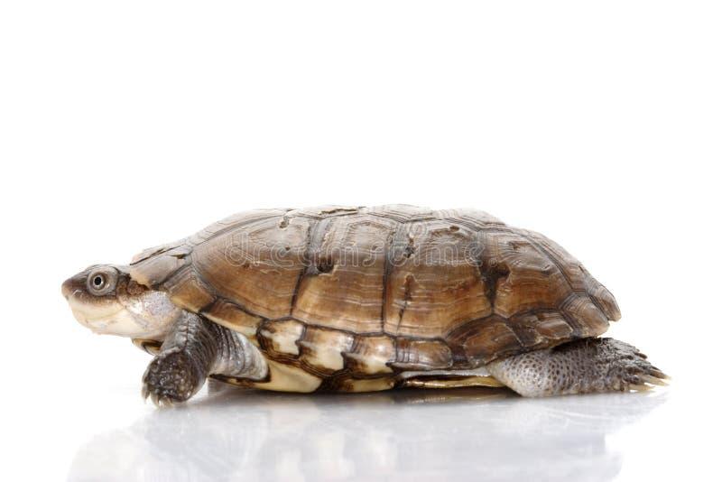 afrykański w kasku północny żółw fotografia stock
