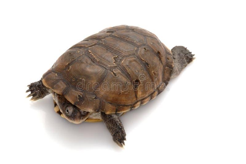 afrykański w kasku północny żółw zdjęcia stock