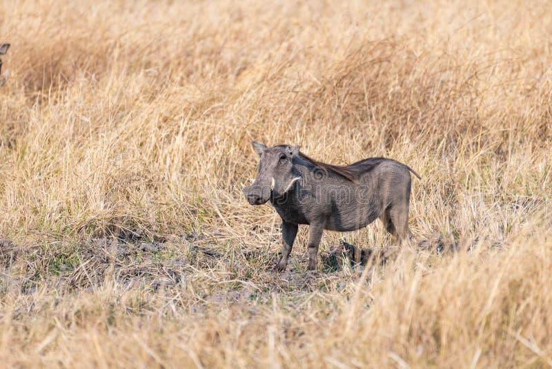 Afrykański warthog oin sawanna Botswana w Africa obraz stock