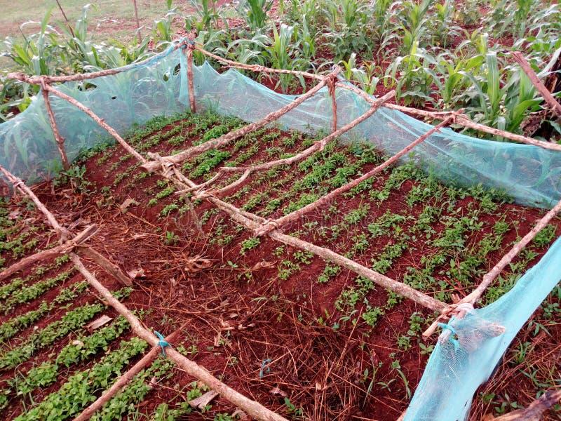 Afrykański wioski chili pepiniery łóżko zdjęcie royalty free