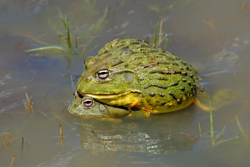 afrykańskich bullfrogs gigantyczna kotelnia zdjęcie royalty free