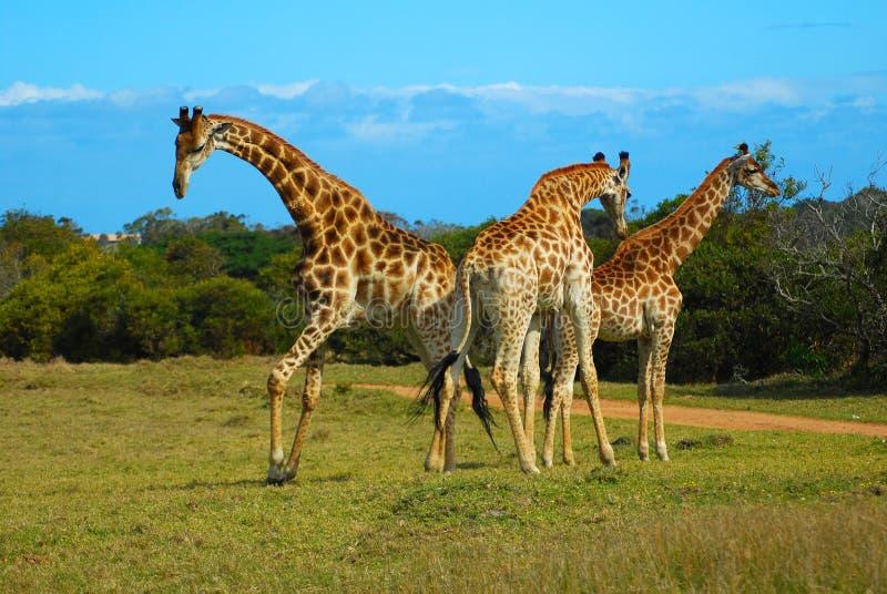 afrykańskie żyrafy zdjęcia royalty free